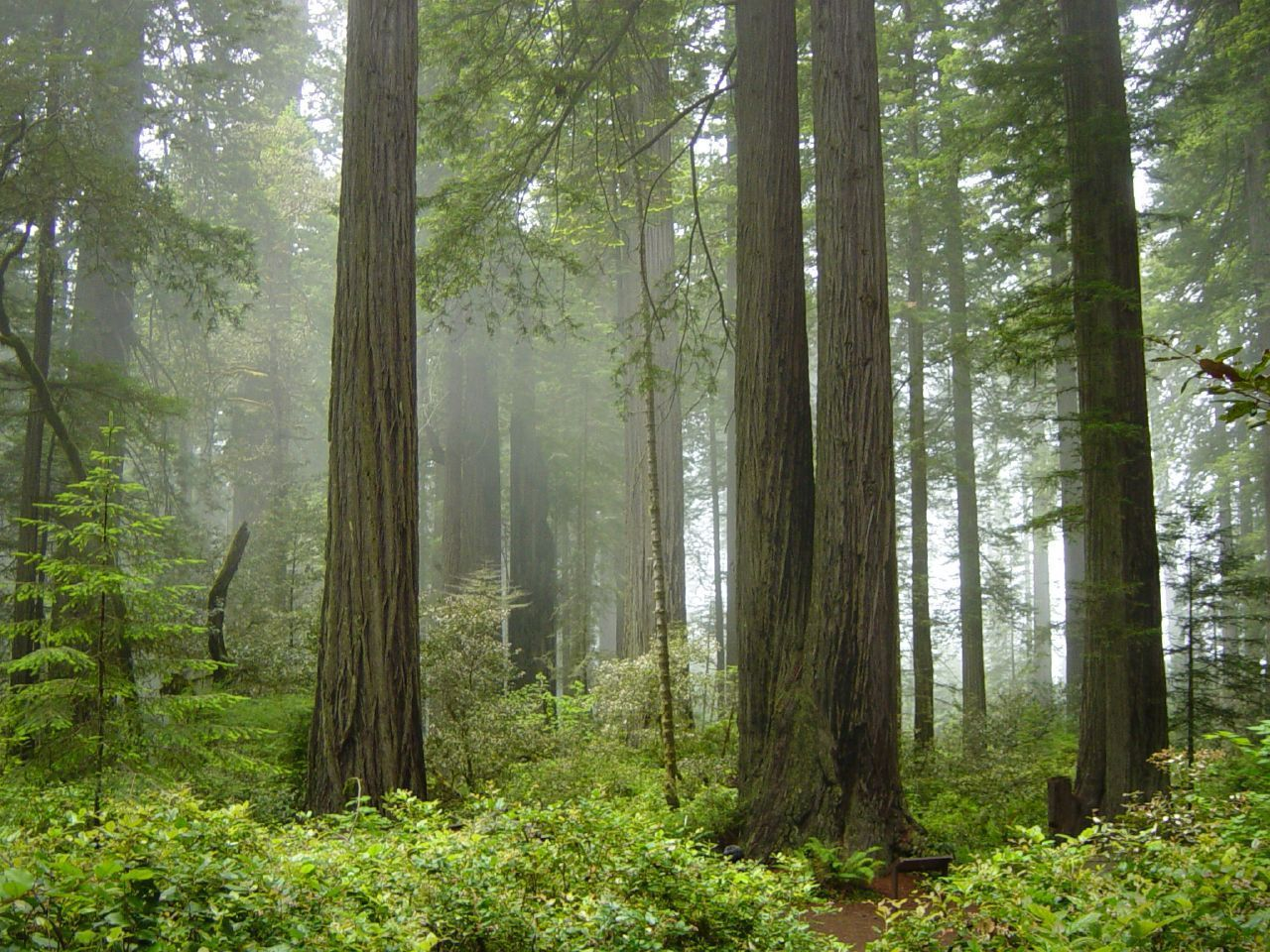 """Coast Redwood forest and understory plants"" by Michael Schweppe under CC BY 2.0"
