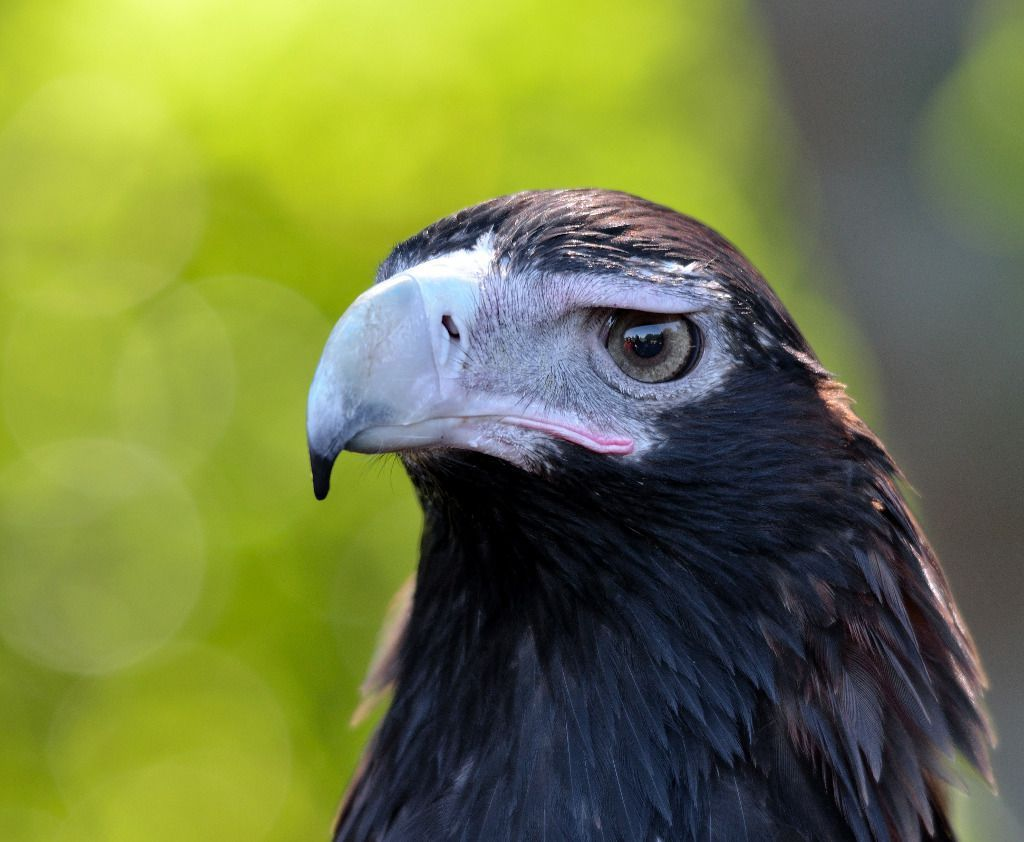 """Wedge-tailed Eagle (Aquila audax)"" by James Niland is licensed under CC BY 2.0"
