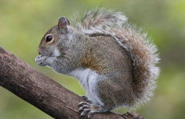 Winter is fast approaching and grey squirrels will soon begin to prepare for the harsh winter weather. Since they don't ...