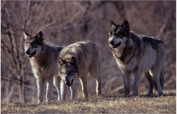 Wolves are usually seen as terrifying cold blooded killers but is that really the case? Since there are around 12,000 ...