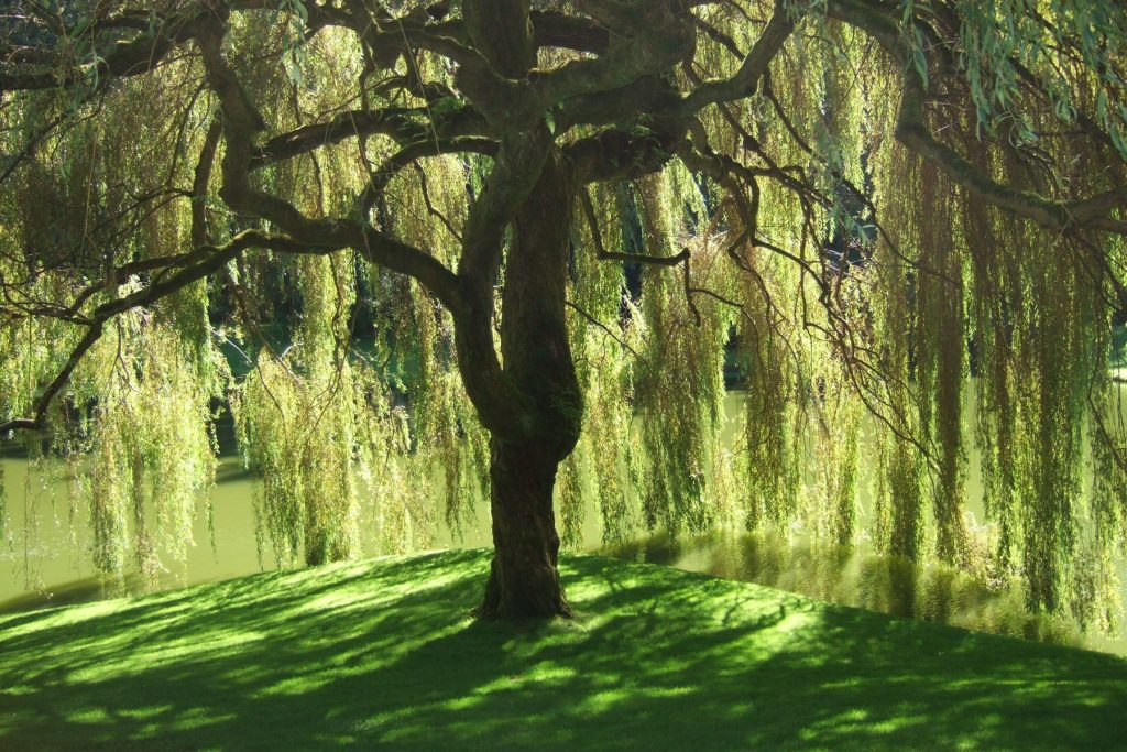 """Willow tree"""
