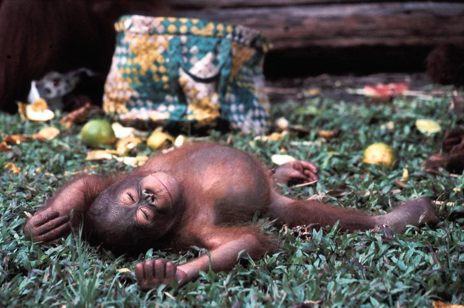 """Baby orangutan sleeping in an animals rescue center"" by Frank Wouters is licensed under CC BY 2.0"