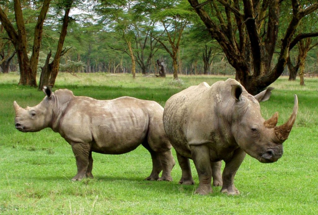 White rhinos Africa poaching nature