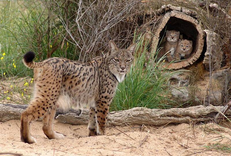 """""""Iberian Lynx with two cubs"""" by lynxexsitu is licensed under CC BY 3.0"""