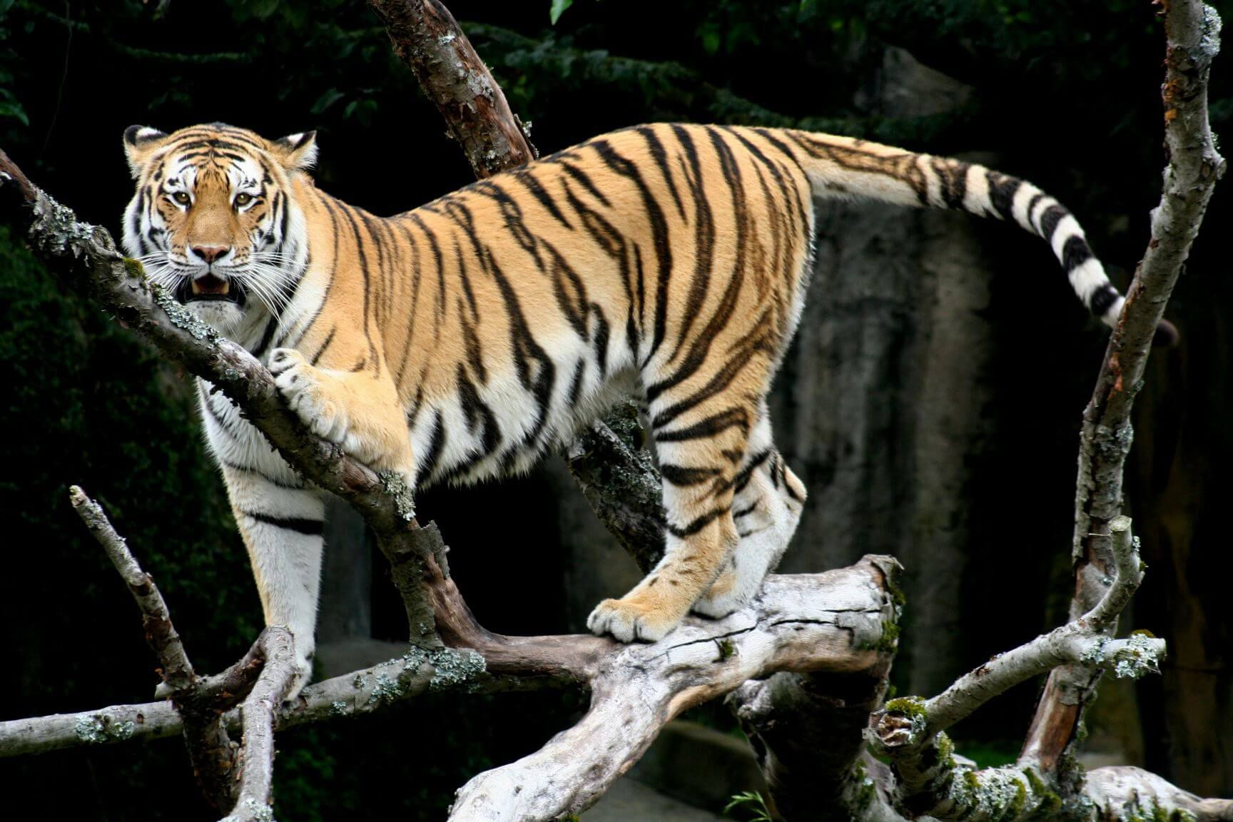 """""""The largest of the tiger species, the Siberian tiger, is critically endangered"""" by Brocken Inaglory is licensed under CC BY 3.0"""