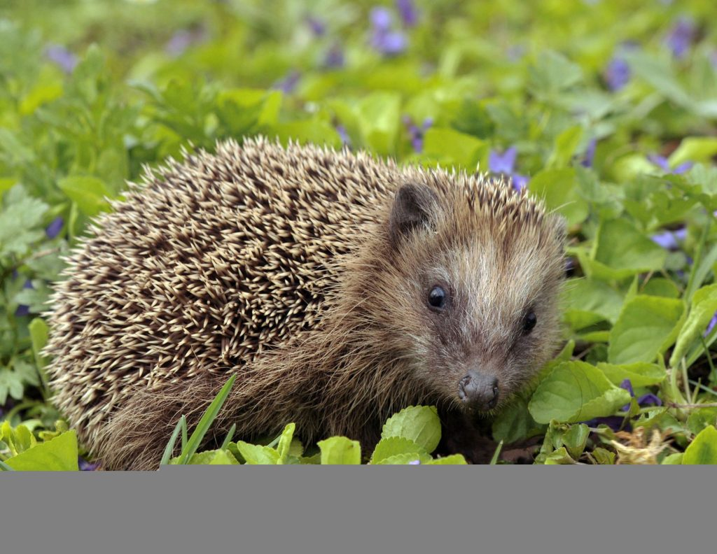 European Hedgehog Fun Facts