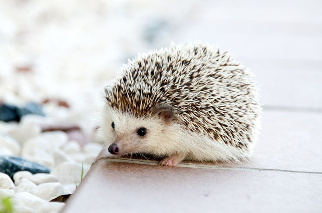 Fun Facts Hedgehogs Forest Animal