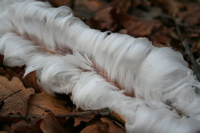 Hairy Ice forms on Rotten Wood fungus