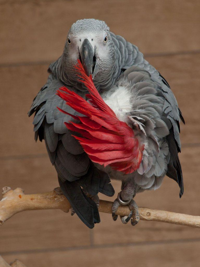 African Grey Parrot Clever Bird
