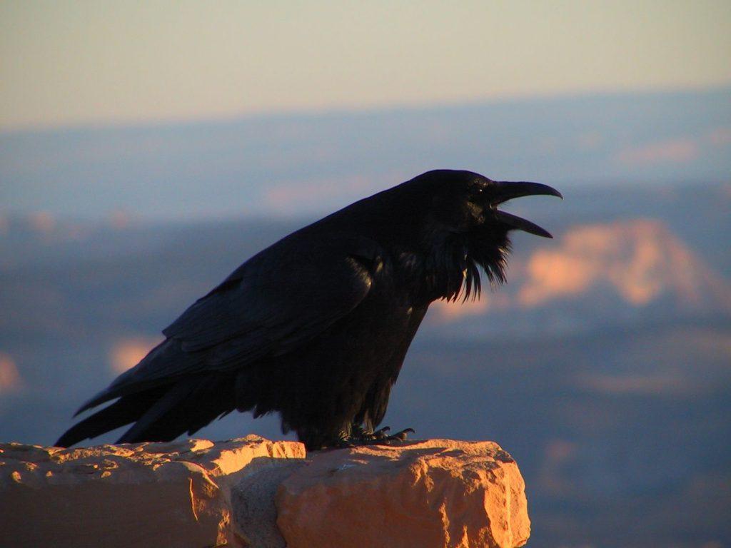 Raven Very Clever Bird