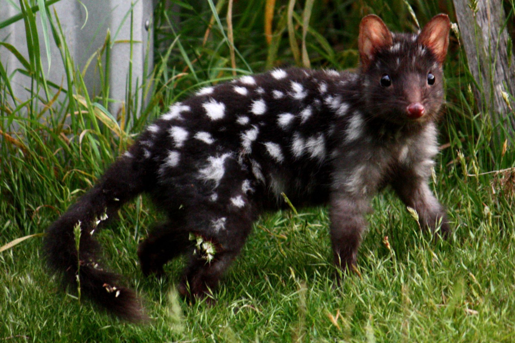 The Cute Polka Dot Eastern Quolls Begin Their Reintroduction To Mainland Australia