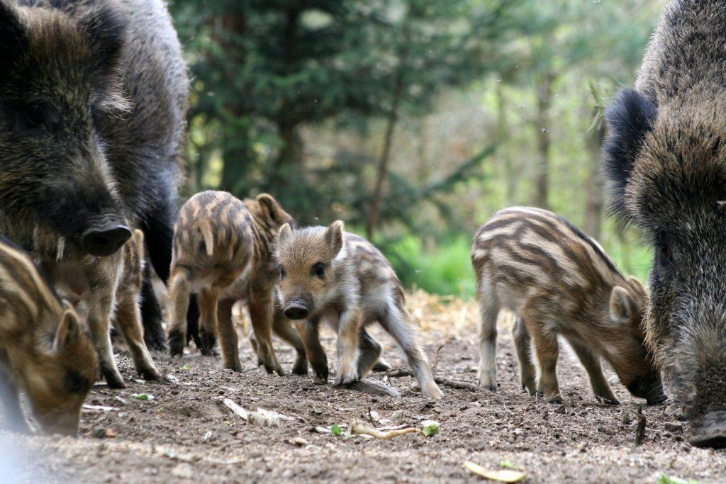 Wildlife returning to Chernobyl Boar Family