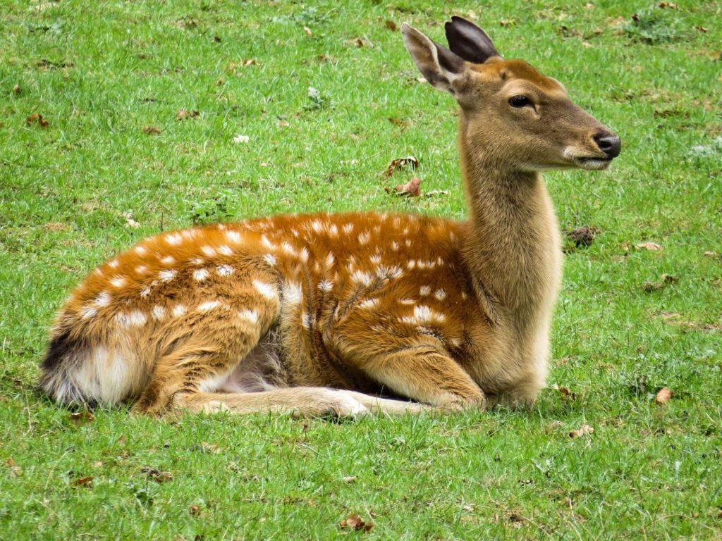 Wildlife returning to Chernobyl Roe Deer