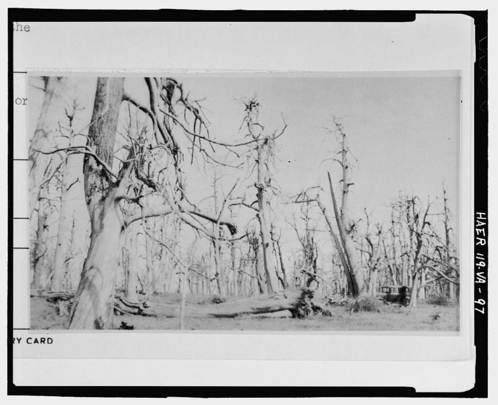 a-ghost-forest-of-blighted-american-chestnuts-in-virginia
