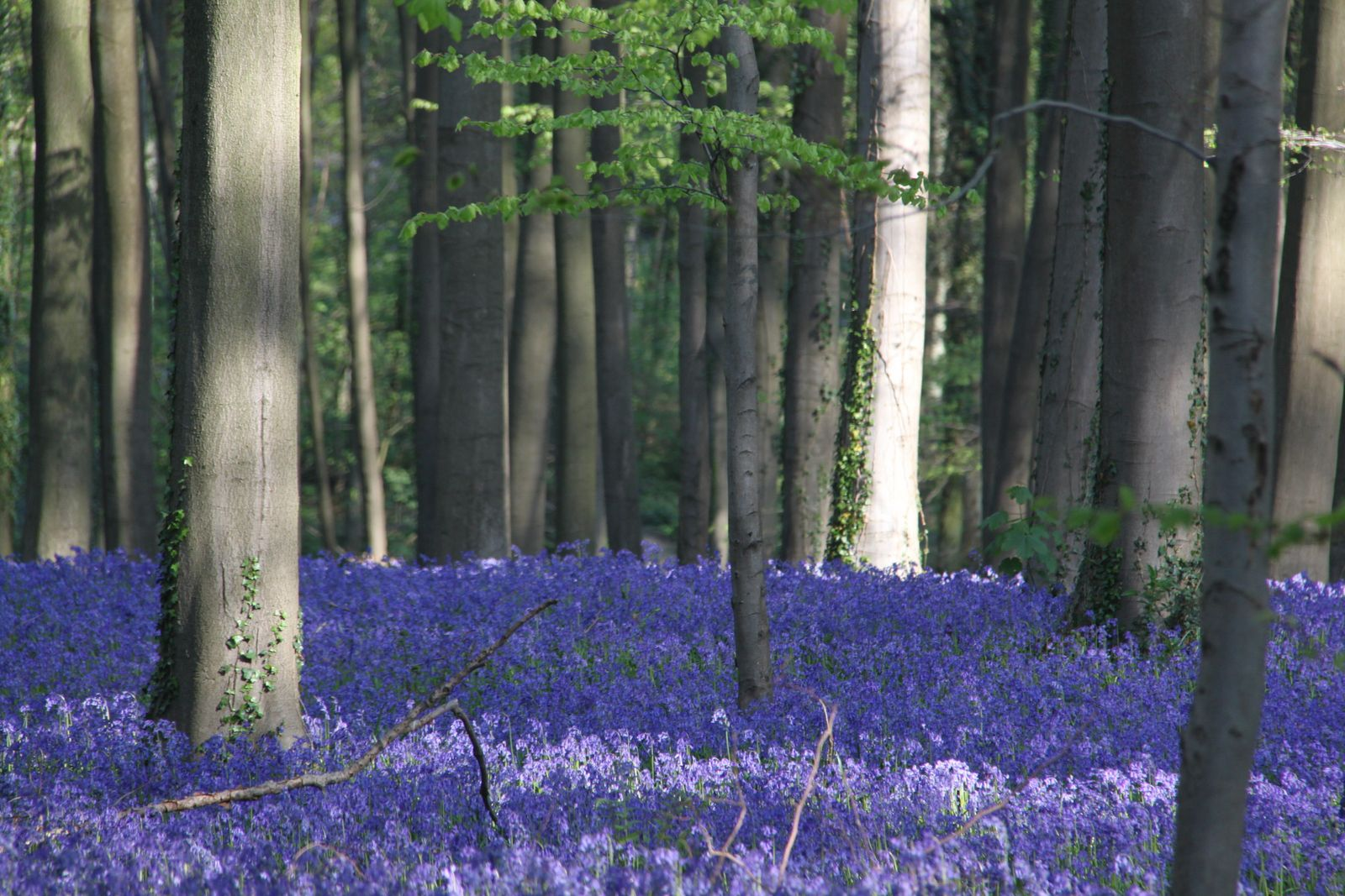 Belgium Breathtaking Forest Covered With Bluebells Hallerbos