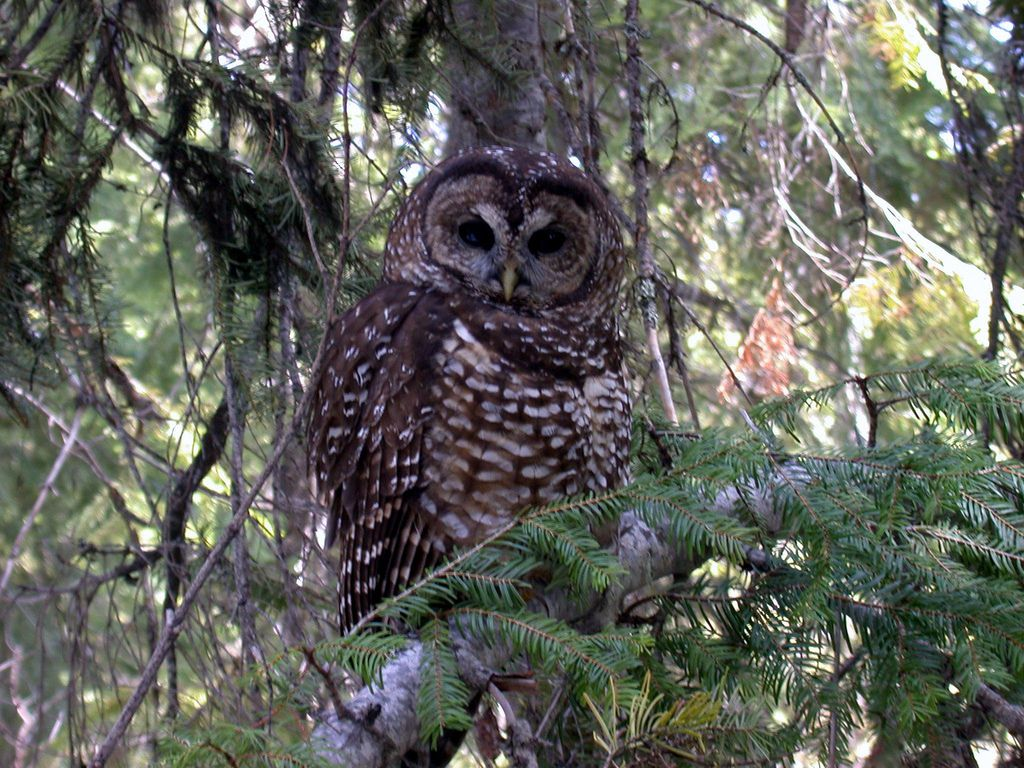 Endangered northern spotted owl