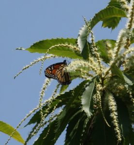 butterfly-on-male-flowers-of-an-american-chestnut