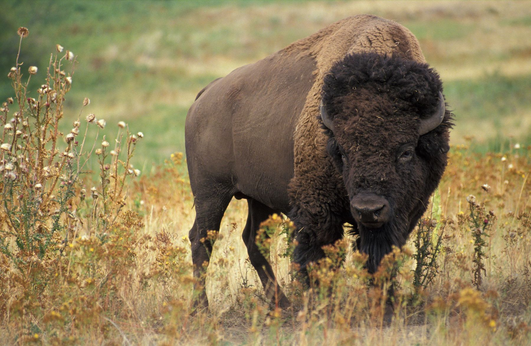 Canada Returns Bison Herd To Montana Tribes After 100 Years (1)