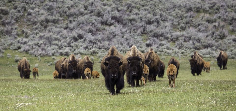 Canada Returns Bison Herd To Montana Tribes After 100 Years (2)