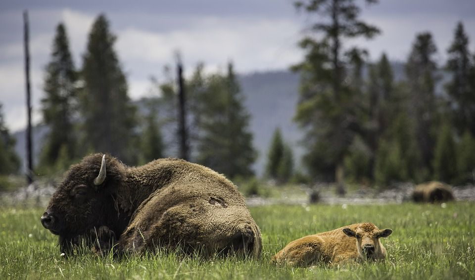 Canada Returns Bison Herd To Montana Tribes After 100 Years (3)