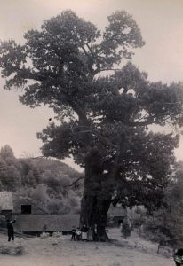 historic-picture-of-a-large-american-chestnut-tree-ten-eyck-dewitt-barns-paul-farm-ny