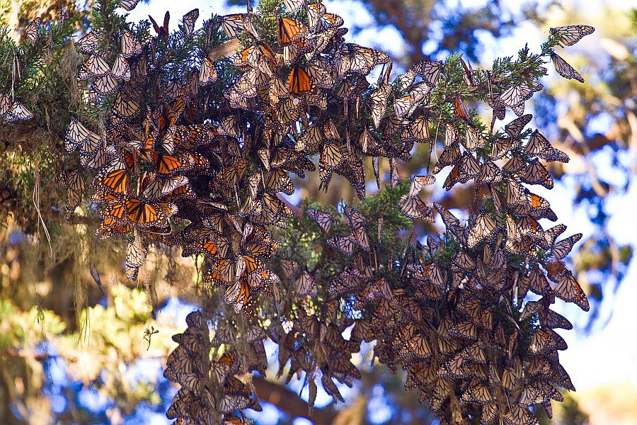 Monarch Butterfly Populations Are Again On The Rise