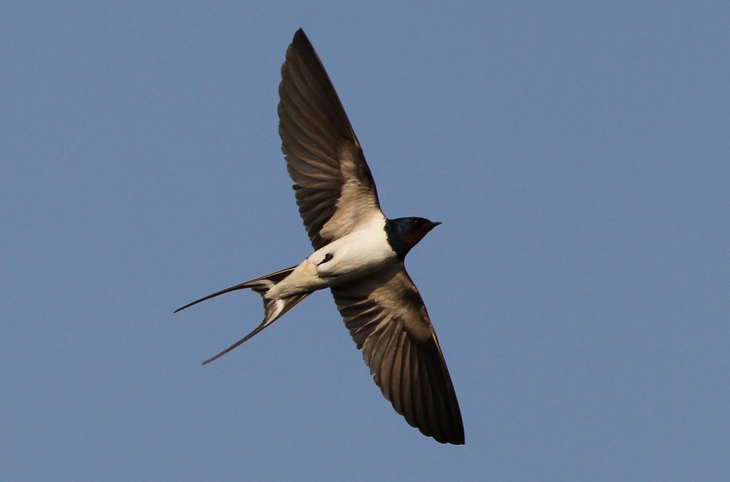 Barn swallow 30 years after chernobyl catastrophe