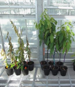 thirty-days-after-infection-with-chestnut-blight-the-wild-type-american-chestnuts-on-the-left-are-wilted-while-the-darling-54-transgenic-trees-are-doing-well