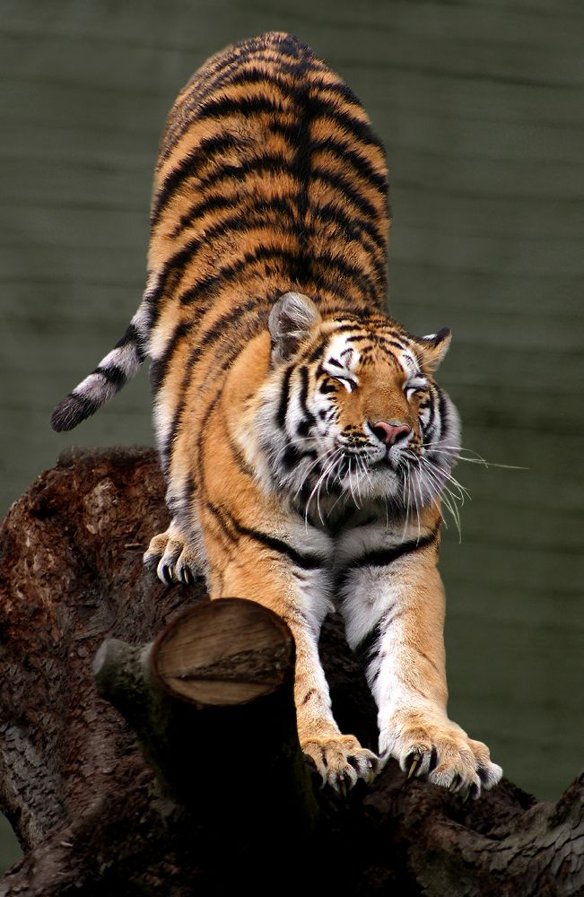 Tigers are declared extinct in Cambodia