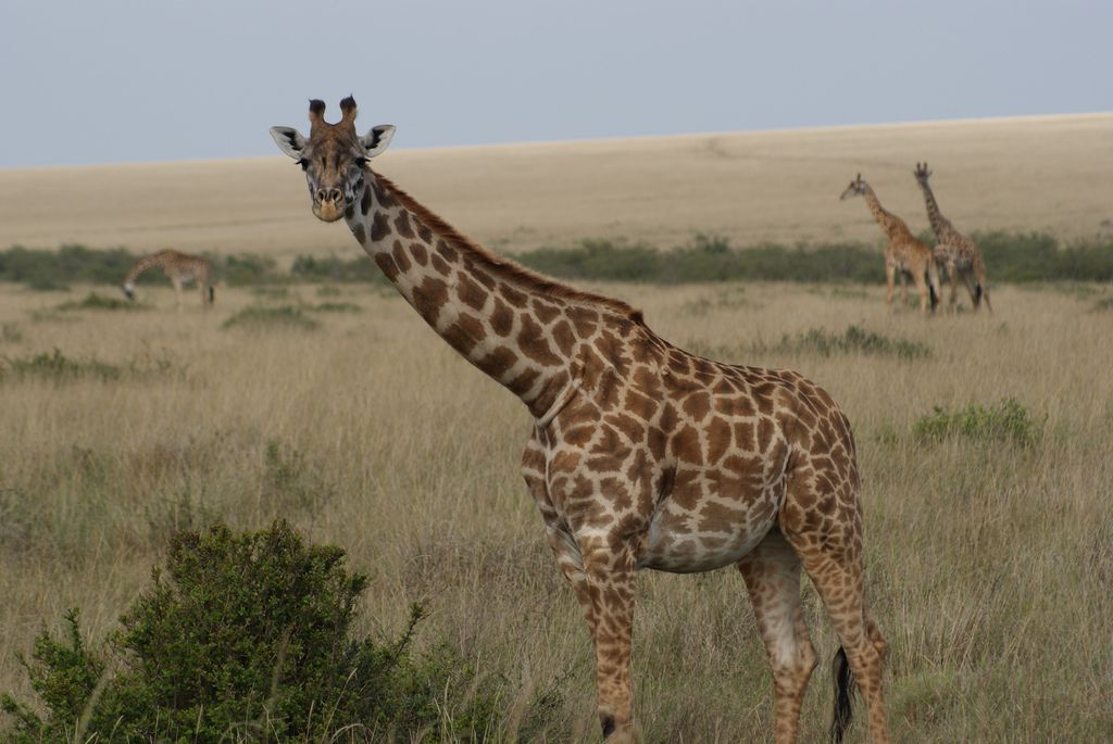 Giraffe Genome Sequencing Offers Clues To Its Long Neck
