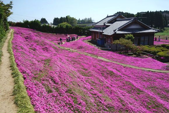 Husband creates giant pink phlox moss garden to make his blind wife smile again