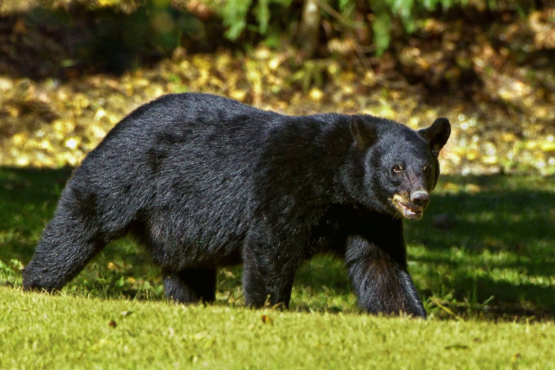Louisiana black bear not endangered