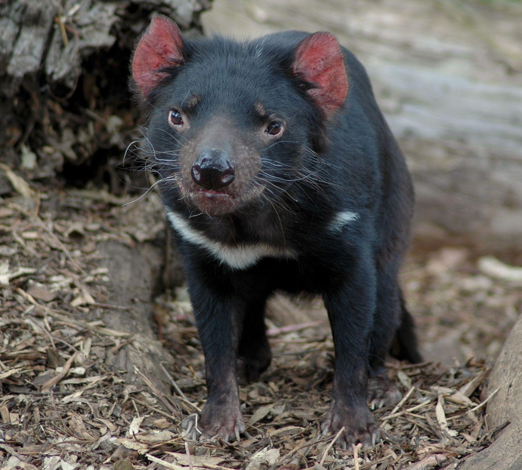 Tasmanian devil poo reveals new genetic variations for the endangered species