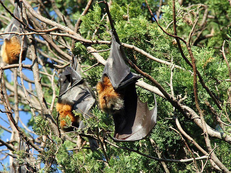 grey-headed flying fox bat