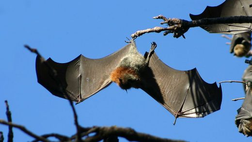 In the old days, bats were thought to be able communicate or talk to spirits and even nowadays most people ...