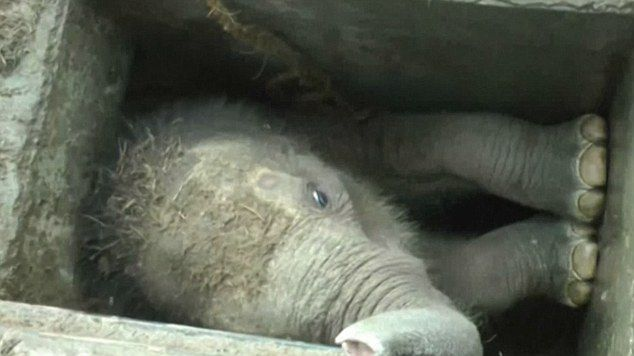 Baby Elephant Rescued From A Drain In Sri Lanka