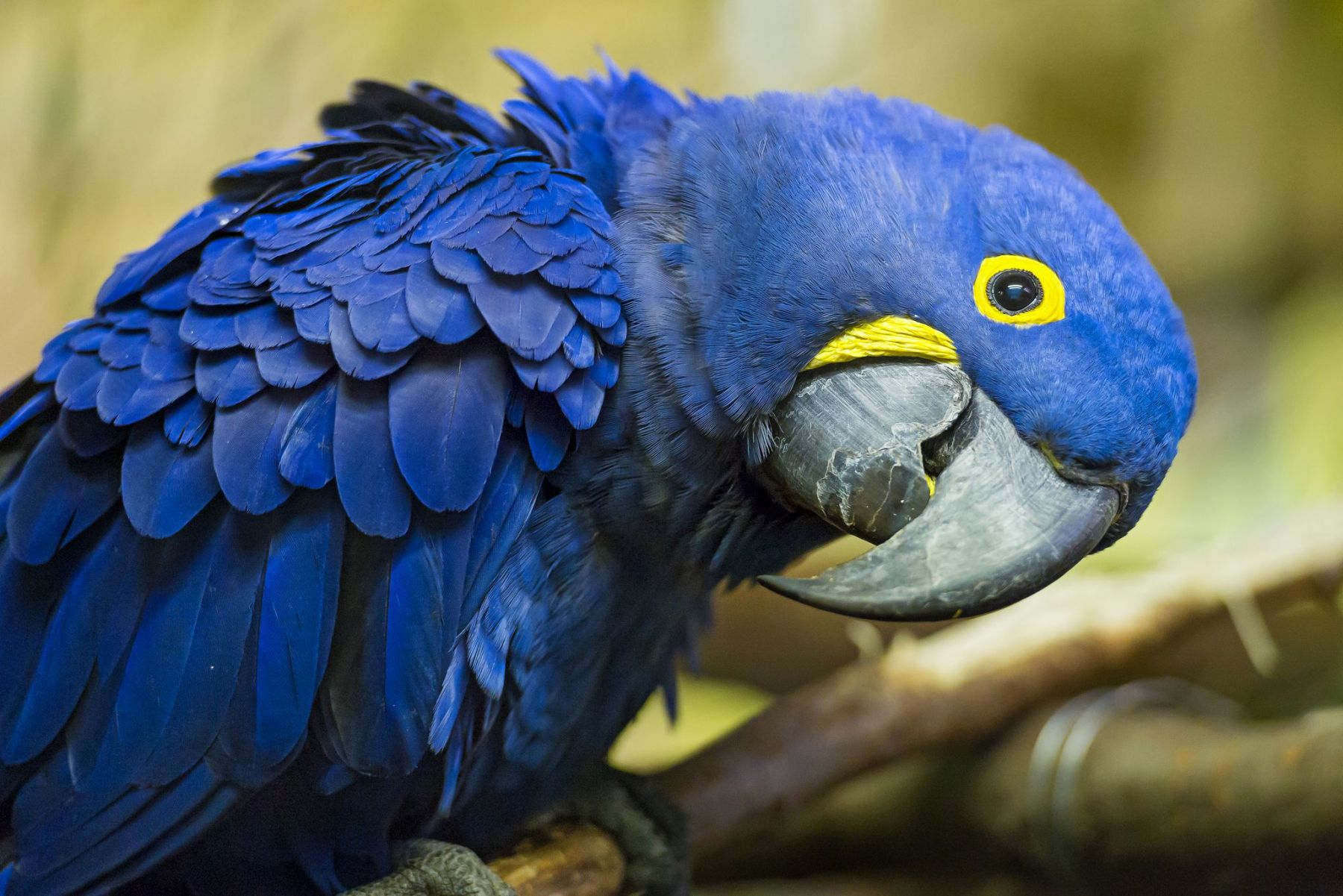 hyacinth macaw bird brains more neurons mammals