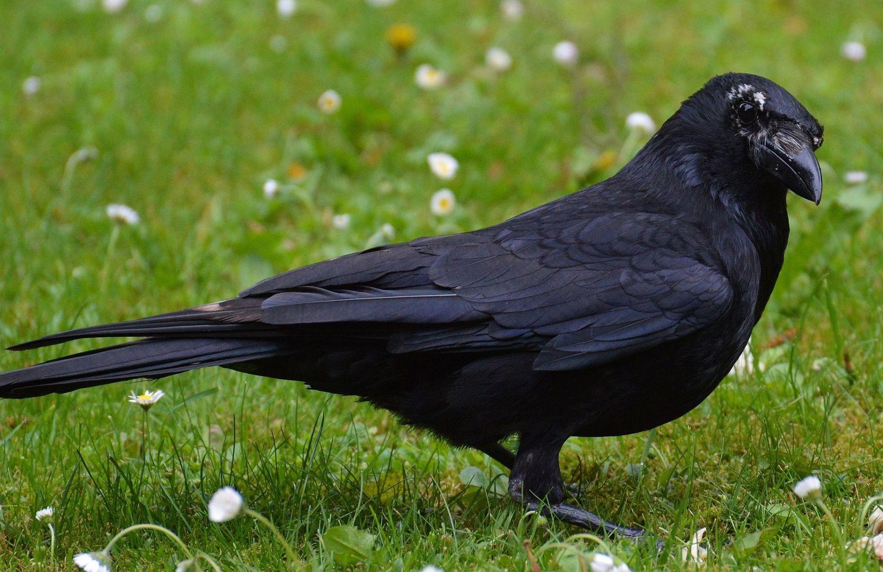 Crow raven bird brains more neurons mammals