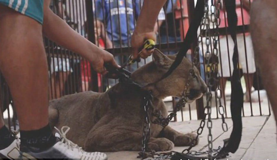Circus Mountain Lion Tastes Freedom After Spending 20 Years In Chains