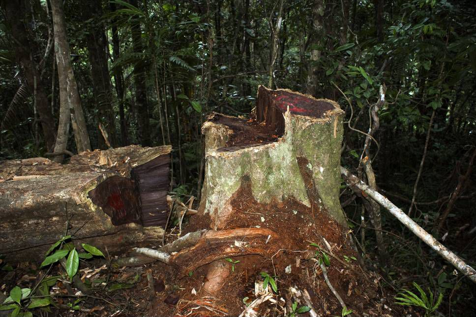 Illegal logging machine sniff out speciments of wood