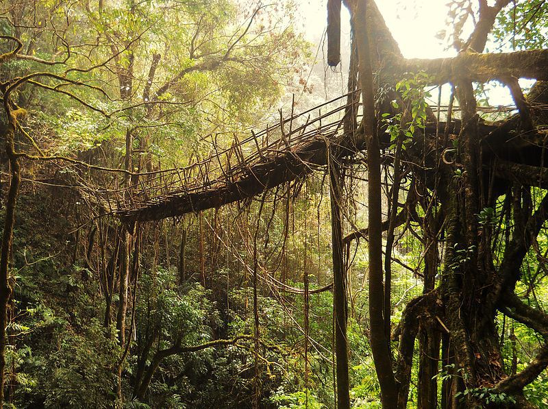 Tribes In India Use Tree Roots To Make Living Bridges