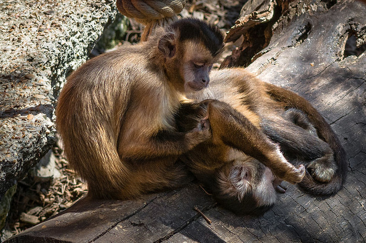 tufted-capuchin-monkeys