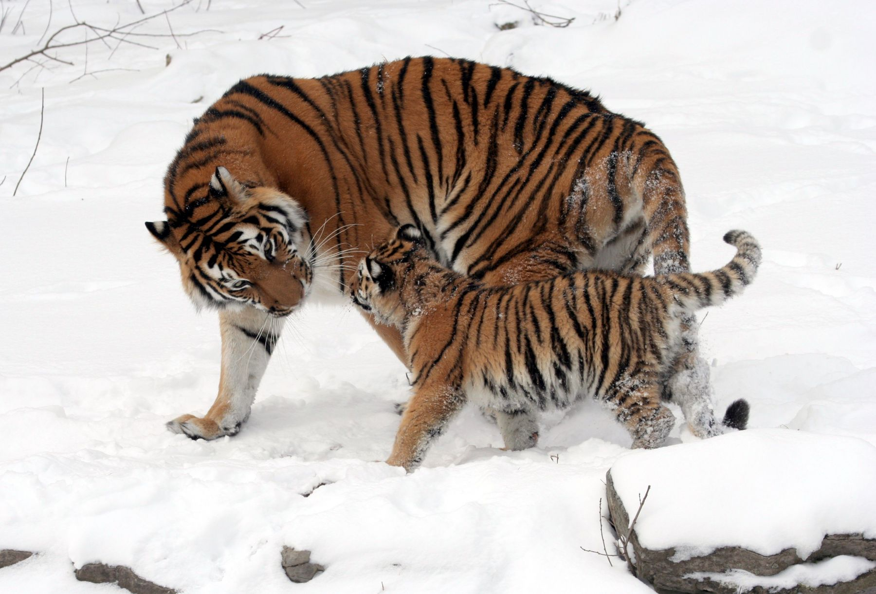Wildlife corridor built in russia to help save endangered tigers and leopards