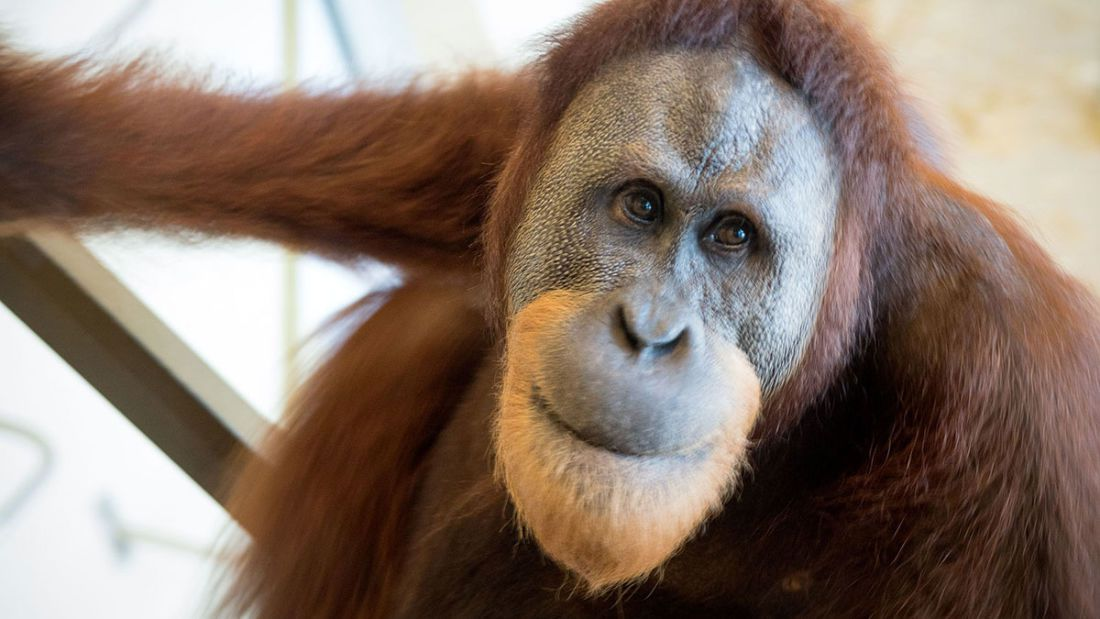 Rocky The Orangutan Has Learnt How To Mimic Human Speech