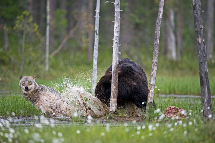 Friendship Between Wolf And Bear Documented By Finnish Photographer