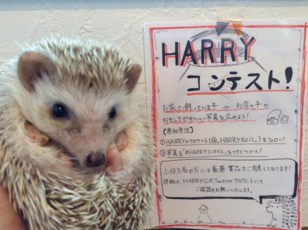 World's First Hedgehog Cafe Opened In Japan