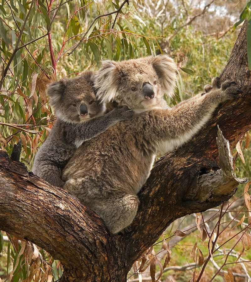 koalas-can-learn-to-cross-the-road-safely
