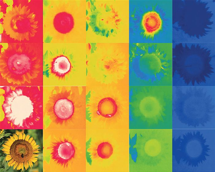 Sunflower temperatures change over a day. | © Evan Brown, University of Virginia