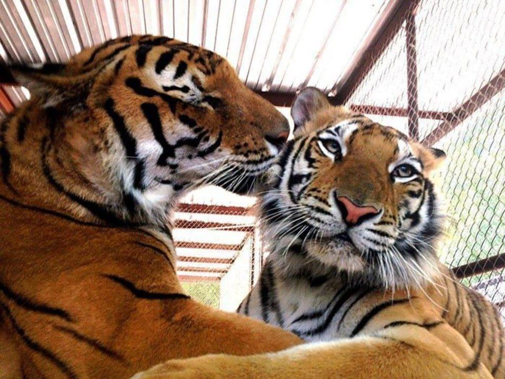 aasha-bengal-tiger-7