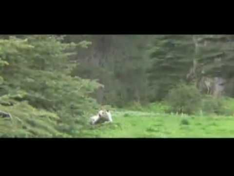 2 Grizzly Bears Charge Camera Man BC, Canada